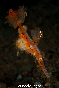 Roughsnout ghost pipefish .... with eggs by Paolo Isgro